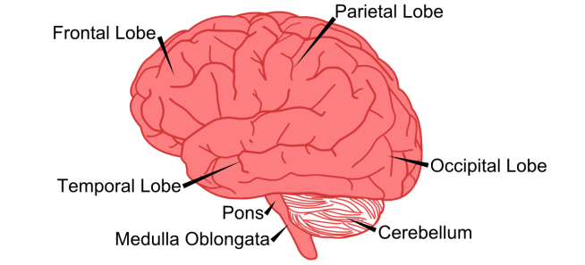 brain_in_profile